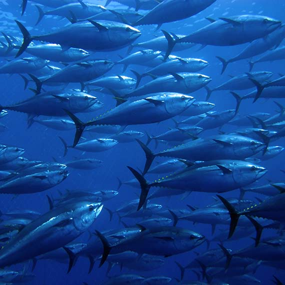 group of tuna in the mediterranean sea
